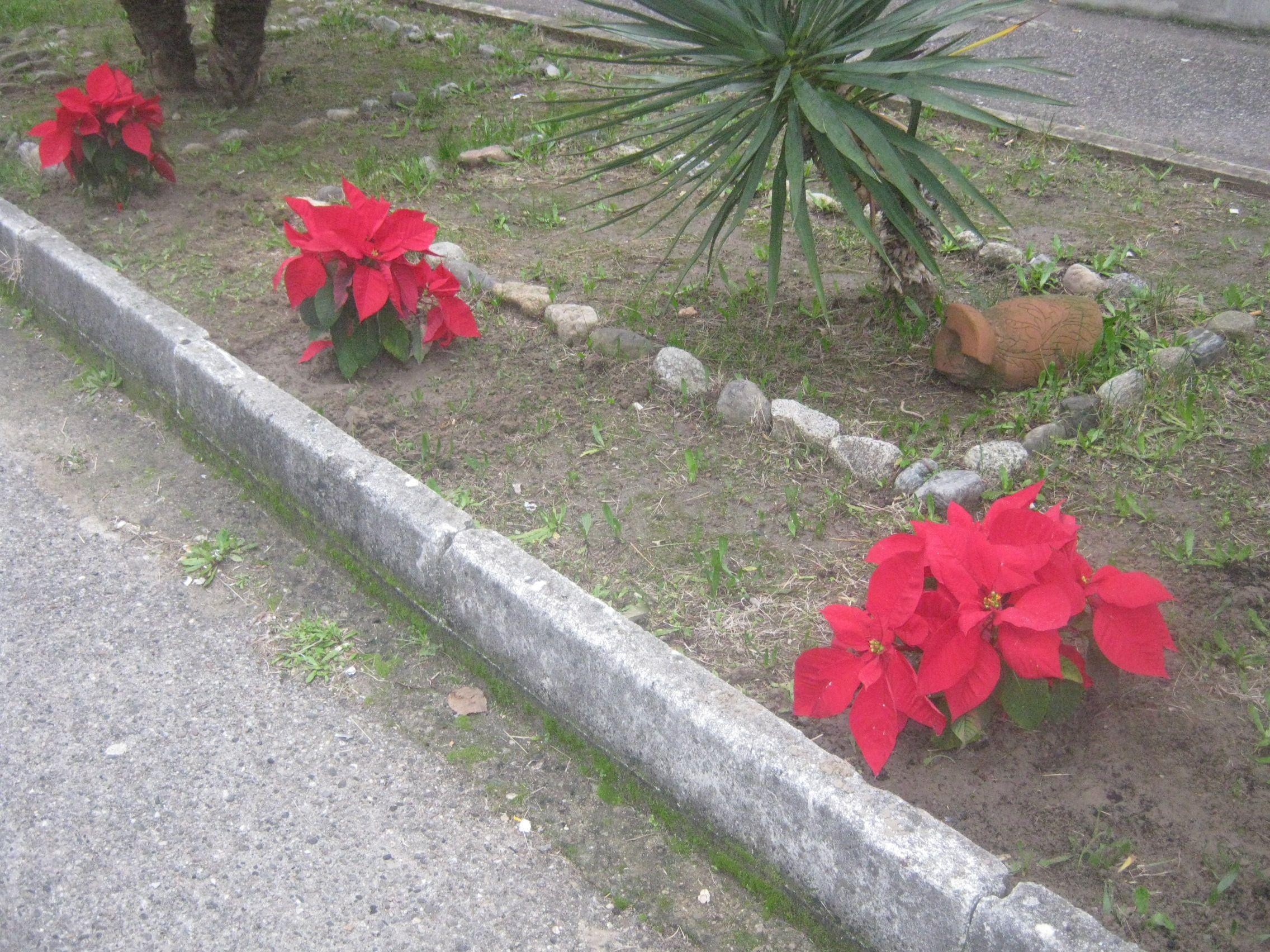 I detenuti piantano le stelle di Natale Ail  in un'aiuola del carcere di Catanzaro