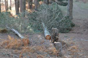 Taglio abusivo di pini e lavoro nero, multa da 30mila euro